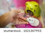 Stock photo the owner hand feeds cute winter white dwarf hamster with pet food the winter white hamster is 1021307953