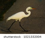 Great Egret Crossing A Path In...