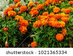 mexican marigolds  tagetes... | Shutterstock . vector #1021365334
