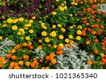 mexican marigolds  tagetes... | Shutterstock . vector #1021365340