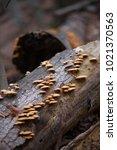 yellow mushrooms on a fallen... | Shutterstock . vector #1021370563