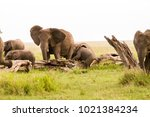 african elephants  of the genus ... | Shutterstock . vector #1021384234