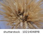 Dried Wheat For Decoration.