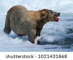 alaskan male grizzly bear... | Shutterstock . vector #1021431868