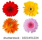 gerbera beautiful flowers... | Shutterstock . vector #1021451224