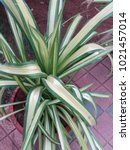 spider plant in pot   Shutterstock . vector #1021457014