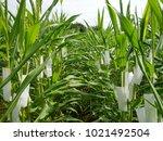 Small photo of Prepare female flowers for breeding, Inbred line corn, Uniform