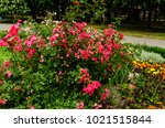 rose bush on a flowerbed in the ... | Shutterstock . vector #1021515844