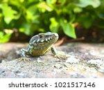 curious lizard on an old stone... | Shutterstock . vector #1021517146