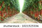 Tomatoes   Cherry Tomatoes