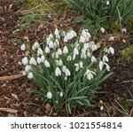 snowdrops  galanthus  in a... | Shutterstock . vector #1021554814