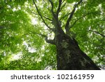 beech forest  in  appi  iwate   ... | Shutterstock . vector #102161959