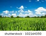 Green wheat field on cloudy blue sky - stock photo