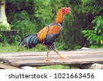gamecocks in thailand ... | Shutterstock . vector #1021663456