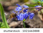 the honey bee collects nectar... | Shutterstock . vector #1021663888