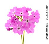 A Large Pink Flowered Primrose...
