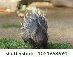 portrait of cute porcupine. the ... | Shutterstock . vector #1021698694