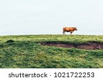 a brown lonely cow  in a green...