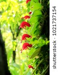 Small photo of Aeschynanthus sp or Gesneriaceae or Iamiales in beautiful sunlight.. Red Flower Orchid
