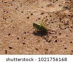 Japanese Grasshopper On The...