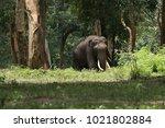 asiatic elephant  elephas... | Shutterstock . vector #1021802884