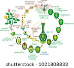 angiosperm life cycle. diagram... | Shutterstock .eps vector #1021808833