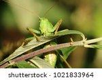 great green bush cricket | Shutterstock . vector #1021833964