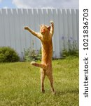 Stock photo ginger cat in jumping on green grass or dancing cat the cat is engaged in fitness 1021836703