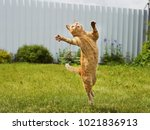 Stock photo ginger cat in jumping on green grass or dancing cat 1021836913