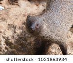 a closeup front view portrait...   Shutterstock . vector #1021863934