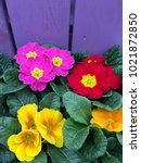 African Violet Plants With...