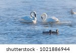 Swans In Winter  Trumpeter And...
