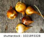 Tulip Bulbs  On A Wooden...