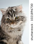 Small photo of Cute and cute Scottish cat on a white background. Isolate