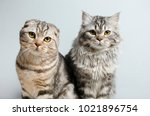 Stock photo scottish fold and scottish pryamouhy blue marble cats on a white insulator look into the camera 1021896754