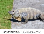wild spiny tailed iguana  black ... | Shutterstock . vector #1021916740