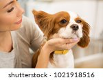 Stock photo cropped close up of a young woman checking ears of her cute little spaniel puppy copyspace medicine 1021918516