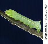 Image Of  Green Caterpillar On...