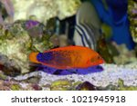 The Red Coris Wrasse  Also...