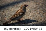 the dark passerine | Shutterstock . vector #1021950478