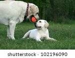Stock photo two yellow labradors adult and puppy playing with an orange ball 102196090