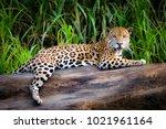 a jaguar relaxes on a tree... | Shutterstock . vector #1021961164