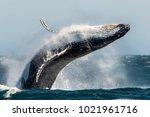 breaching humpback whale.... | Shutterstock . vector #1021961716
