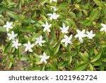 Small photo of Gardenia jasminoides flower in nature garden