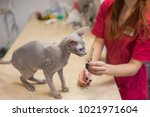 hairless sphinx cat with... | Shutterstock . vector #1021971604