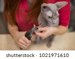 hairless sphinx cat with... | Shutterstock . vector #1021971610
