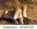lioness on the hunt  phinda... | Shutterstock . vector #1022007319