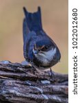 Small photo of White fronted swallow