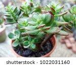 Cactus Bladeren Type  Jade...