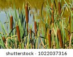 Reed Mace Poster For Home Or...